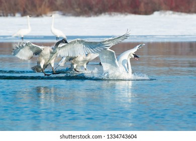 Three Trumpeter Swans come in for a splash down landing in the cold water.