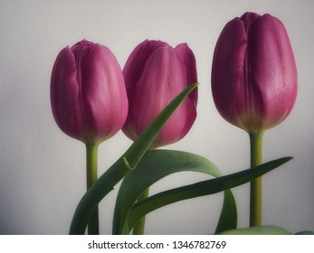 Three tulips against light background. Soft colours.