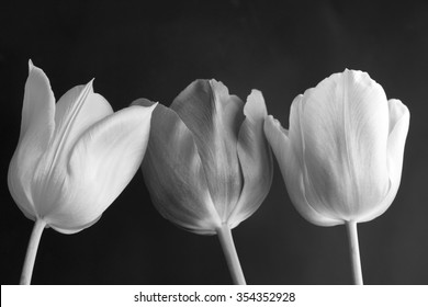 Three tulips black and white on a black background/three tulips black and white/Spring flowers