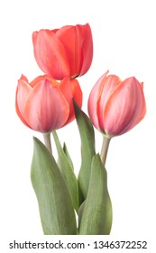 Three tulips isolated on a white background