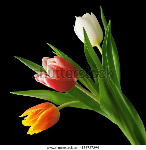 three tulips on a black background