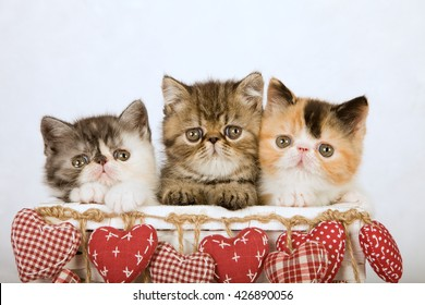 Three Valentine Exotic kittens sittings inside white basket decorated with red fabric hearts