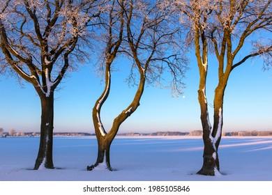 Drei sehr schöne Bäume stehen am Rande eines Feldes. Das Licht der Morgensonne fällt auf die Bäume. Es gibt Schnee und es ist sehr kalt. Im Altmark, Sachsen-Anhalt gesehen.