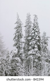 Three very cold trees after fresh snow.