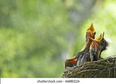 Three very hungry baby robins in a nest with their mouths open wide, shallow depth of field with lots of copy space, selective focus, horizontal
