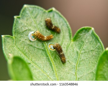 Three very tiny, freshly eclosed Black Swallowtail butterfly caterpillars on a parsley leaf; two of them eating their old egg shells for extra energy