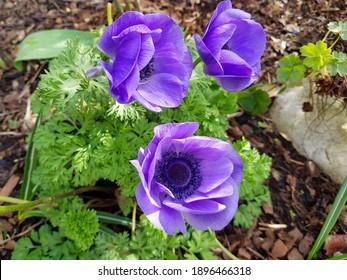 Three violet anemones blooming in the garden