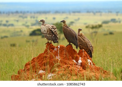 Three vultures sit on a feces stained rock in Murchison Falls National Park, Uganda.