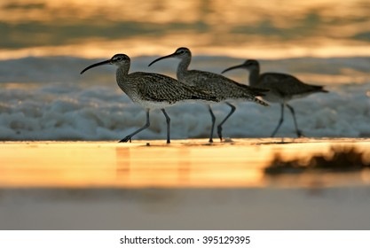 Three wading birds, Whimbrel, Numenius phaeopus on white beach of Zanzibar island against waves reflecting setting sun.