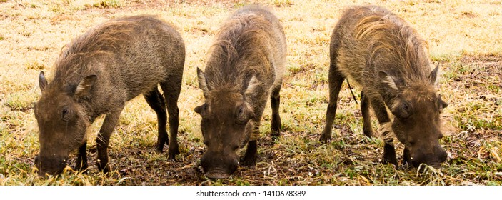 Three warthog siblings near one of the camps in Kruger Park. They are used to humans so they don't scare as easily as regular warthogs.