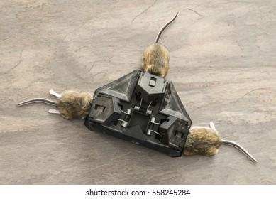 Three way trap with trapped mice in each compartment, from mouse infested area.  The mice are deer mice which are carriers of the Hantavirus  which can kill humans and thus poses a serious health risk
