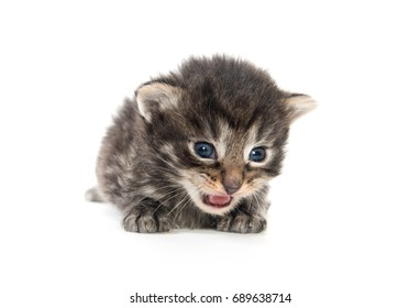 THree week old tabby kitten isolated on witie background