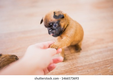 Three weeks old Petit Brabancon puppy gives a paw