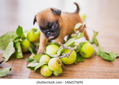 Three weeks old Petit Brabancon puppy portrait in the apples with a tongue out