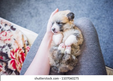 Three weeks old Welsh Corgi Pembroke puppy sleeps