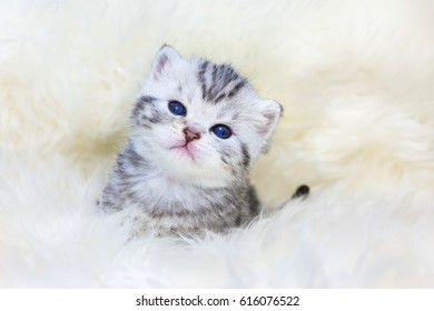 Three weeks old young cat sitting on sheep fur
