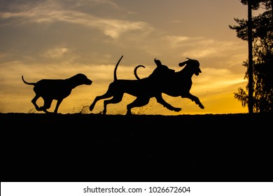 three Weimaraner dogs play and run in nature yellow background at sunset