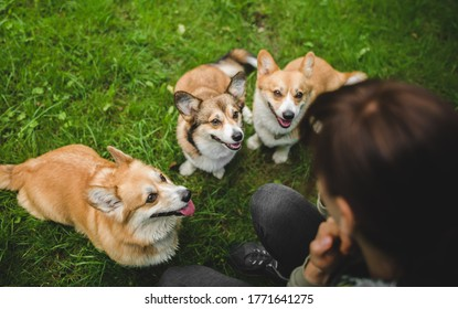 Three welsh corgi pembroke dogs sitting and looking at the owner in the park, happy and smiling