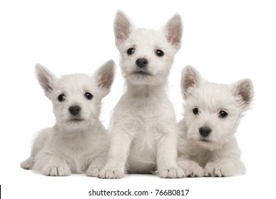 Three West Highland Terrier puppies, 7 weeks old, in front of white background