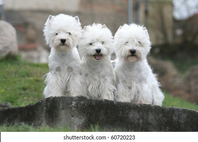 three west highland white terriers