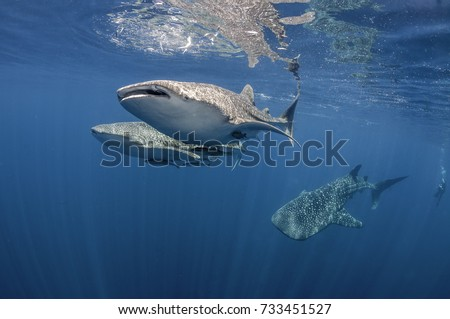 Three whale sharks swimming near the surface, Cenderawasih Bay, West Papua, Indonesia.