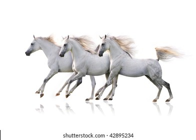 three white arab horses on white