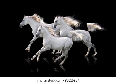 three white arabian on black