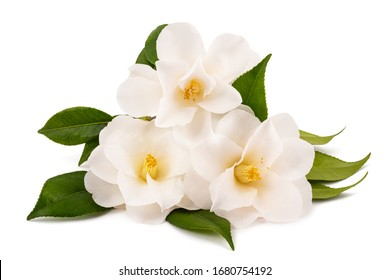 three white camellia isolated on white background