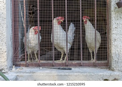 Three white chickens behind a barred window