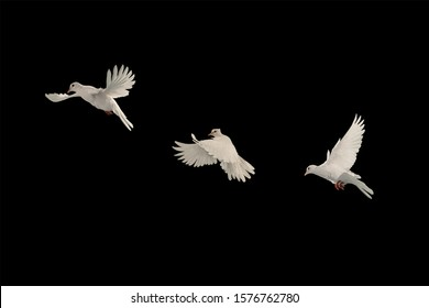 Three White doves flying on black background and Clipping path .freedom concept and international day of peace