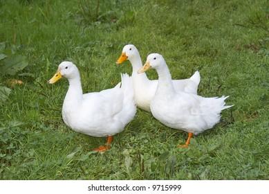 three white ducks in the garden