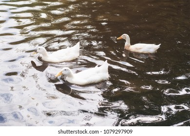 Three white ducks swimming in a Pond at sunrise.