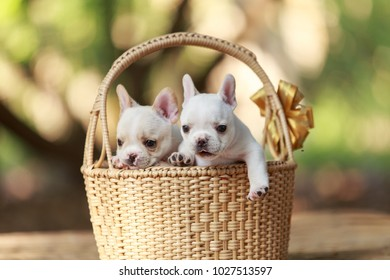 Three white french bulldog puppies in a wicker basket.