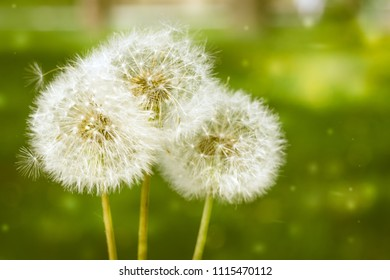 Three white full blowballs dandelions on a green park grass background. Copyspace. Soft focus.