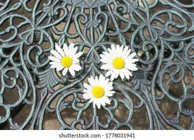 three white garden daisies lie on the openwork table