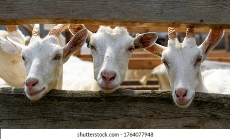 Three white goats behind the fence.