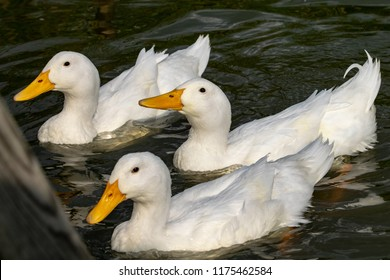 Three white heavy ducks - American Pekin also known as the Aylesbury or Long Island duck