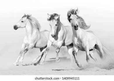 Three white horse run gallop on desert dust. Black and white