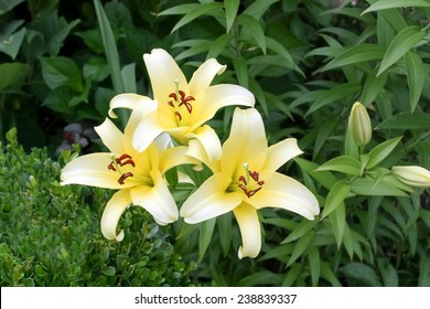 Three White Lilies in a garden; White lily blossom;  Yellow  Lillies  flowers
