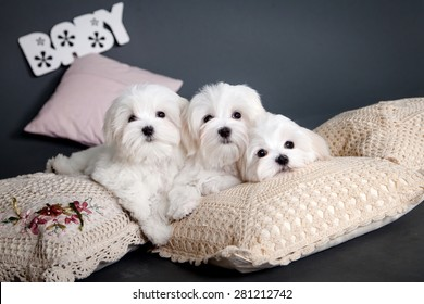 Three white Maltese puppy