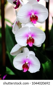 Three white moth orchids with pink sepals blooming beautifully