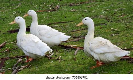 three white peking ducks walking in the grass on bruny island, tasmania, australia