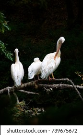 Three white pelicans on a horizontal branch - Pistoia - Tuscany - Italy