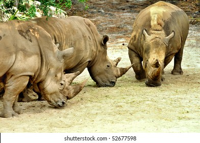 Three White Rhinoceros at zoo