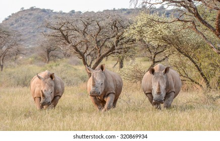 Three White Rhinos standing in savannah in South Africa