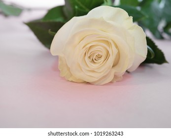 three white roses lie on pink background, very beautiful flowers for wedding