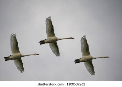 Three White Swans Flying in a cloudy sky