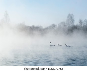 Three white swans swimming along the lake in a frosty fog. Waterfowls move on the water against background of winter forest and clear blue sky. Swan Lake, Altai Territory, Siberia, Russia. January.