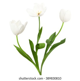 Three white tulips isolated on the white background