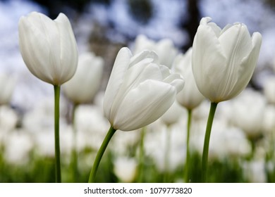 Three white tulips on a flower meadow